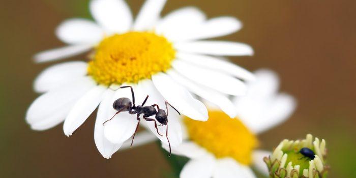 ants on flower
