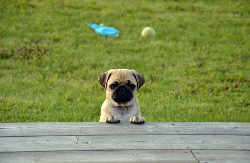 Pug or Partner
