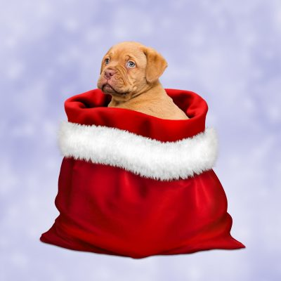 7 Things to Think About Before Getting a Pet as a Christmas Present
